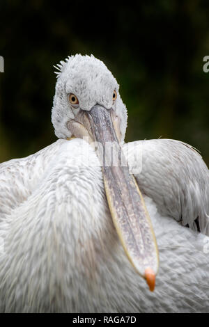 Close-up portrait of Dalmatian pelican (Pelecanus crispus) native to Southeast Europe and Asia - Stock Photo