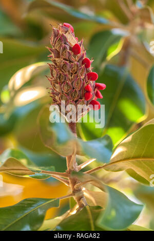 The fruit and seeds of the southern magnolia (Magnolia grandiflora) - Stock Photo