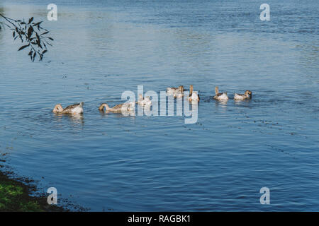 Group of domestic geese swimming in blue river happily and eating water plants. Countryside eco farming concept. Horizontal color photo. - Stock Photo