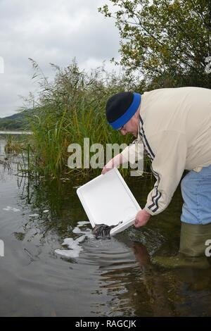 European eel (Anguilla anguilla) elvers being released during a reintroduction project, Lake Llangorse, Wales, UK. - Stock Photo