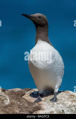 Guillemot on a cliff top - Stock Photo