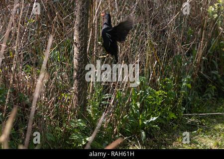 moorhen bird climbing a chicken wire fence - Stock Photo