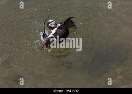 Icelandic long tailed duck splashing in water - Stock Photo
