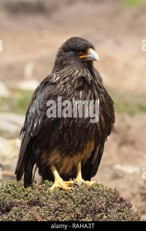 Striated Caracara (Phalcoboenus australis), Saunders Island, Falkland Islands, South America - Stock Photo
