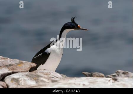 Imperial Shag, formerly Blue-eyed or King Cormorant (Phalacrocorax atriceps), New Island, Falkland Islands, South America - Stock Photo