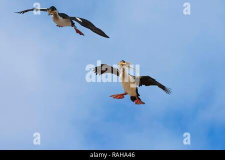 Imperial Shag, formerly Blue-eyed or King Cormorant (Phalacrocorax atriceps) flying with nesting material, New Island - Stock Photo