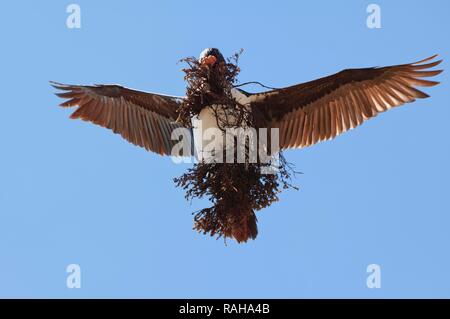 Imperial Shag, formerly Blue-eyed or King Cormorant (Phalacrocorax atriceps) flying with nesting material, Saunders Island - Stock Photo