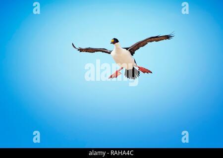 Imperial Shag, formerly Blue-eyed or King Cormorant (Phalacrocorax atriceps) in flight, New Island, Falkland Islands - Stock Photo