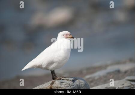 Snowy Sheathbill (Chionis albus), St. Andrews Bay, South Georgia - Stock Photo