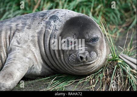 Young Southern Elephant Seal (Mirounga leonina), Fortuna Bay, South Georgia Island - Stock Photo