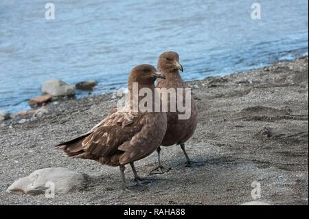 Brown skuas (Stercorarius antarcticus), St Andrews Bay, South Georgia Island - Stock Photo