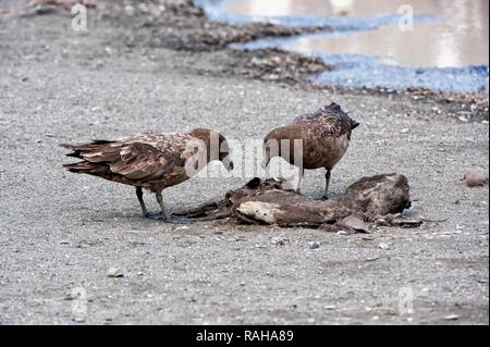 Brown Skuas (Stercorarius antarcticus) feeding on a carcass, St Andrews Bay, South Georgia Island - Stock Photo
