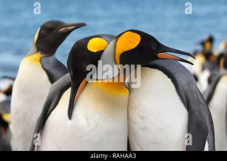 Couple of King penguins (Aptenodytes patagonicus), St. Andrews Bay, South Georgia Island - Stock Photo