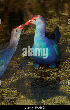 Purple gallinule (Porphyrio martinicus), Peaceful Waters Sanctuary, Wellington, Florida - Stock Photo