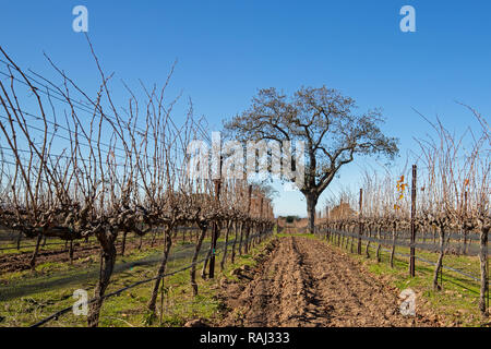 Lone California Oak tree in winter in Central California vineyard near Santa Barbara California United States - Stock Photo