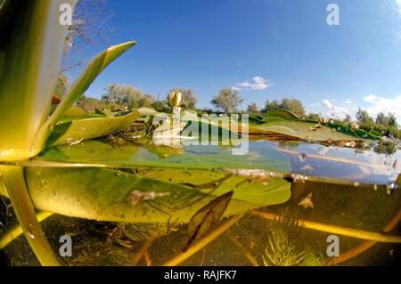 Edible Frog (Pelophylax kl. esculentus) and White water lily (Nymphaea alba), Vilkovo, Ukraine, Eastern Europe - Stock Photo