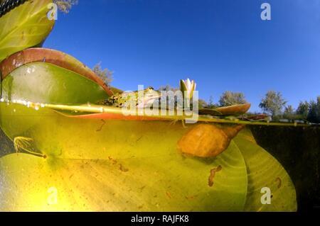 Common frog (Rana temporaria) and White water lily (Nymphaea alba), Vilkovo, Ukraine, Eastern Europe - Stock Photo