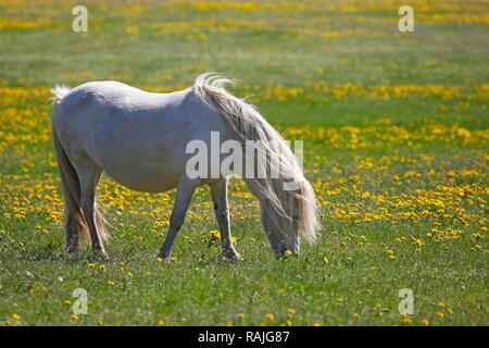 White Icelandic horse (Equus przewalskii f. caballus), pregnant mare grazes on flowering meadow, Schleswig-Holstein, Germany - Stock Photo