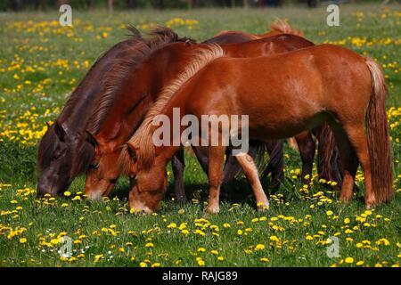 Three grazing Icelandic horses (Equus przewalskii f. caballus), on a flowering meadow, Schleswig-Holstein, Germany - Stock Photo