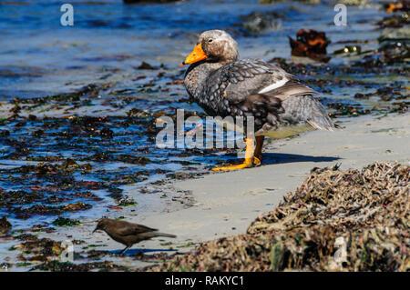 Flightless Steamer Ducks on Carcass Island - Stock Photo