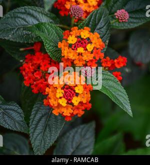 Umbelanterna (Latin Lantana camara), also known as big-sage (Malaysia), tickberry (South Africa). - Stock Photo