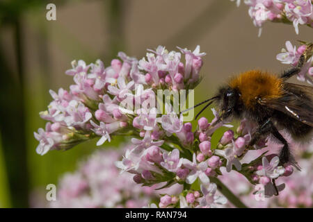 Large light brown fluffy Bee pollinating small pink flowers.