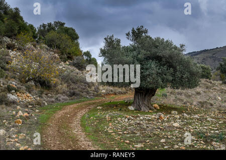 Olive tree, scenery, Akamas peninsula, Cyprus, Olivenbaum, Landschaft, Akamas-Halbinsel, Zypen - Stock Photo