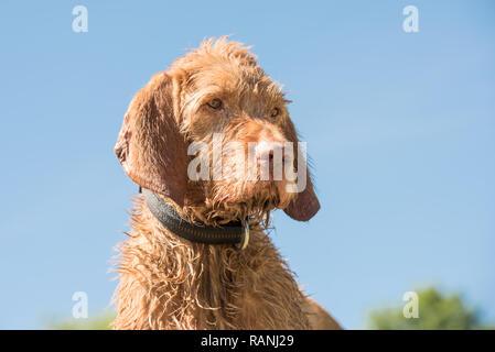 Old Magyar Vizsla dog portrait. Dog is sitting and looking sideways against blue sky - Stock Photo