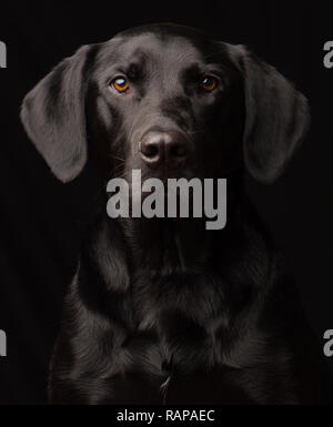 Black Labrador Dog portrait taken in a studio setting against a black background - Stock Photo