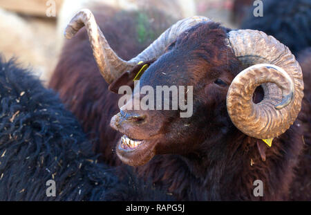 A Farm Mammal Animal Sheep Looking Closer Shot Photo - Stock Photo