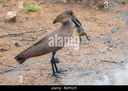 A Hamerkop (Scopus umbretta) catches an Eastern Olive Toad (Amietophrynus germani) in Kruger National Park, South Africa. - Stock Photo