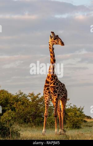 Giraffe in at sunrise in nice warm light, Masai Mara, Kenya - Stock Photo