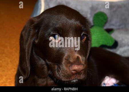 brown labrador puppy look deep into your eyes, chocolate labrador retriever puppy male portrait studio shot - Stock Photo