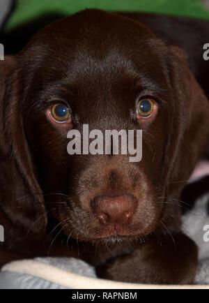 cute labroador puppy macro shot face to face, chocolate labrador retriever puppy male portrait studio shot - Stock Photo