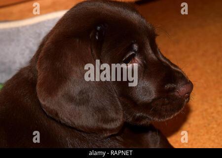 chocolate brown labrador puppy side view portrait, chocolate labrador retriever puppy male portrait studio shot - Stock Photo