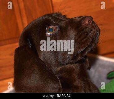 cute puppy of a chocolate brown labrador looks up curiously, chocolate labrador retriever puppy male portrait studio shot - Stock Photo