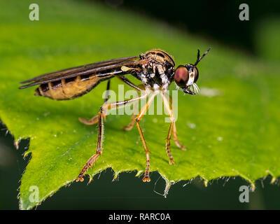 Stripe-legged Robberfly (Dioctria linearis) taken at Blashford Lakes nature reserve in Hampshire - Stock Photo