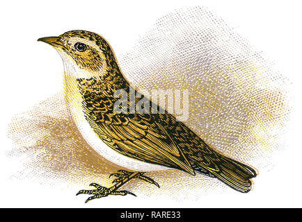 1898 colour engraving of a greater short-toed lark (Calandrella brachydactyla). - Stock Photo
