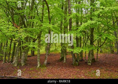 Recently sprouted beech trees in Hayedo de Montejo Beech, one of the most meridional beech forests in Europe (Montejo de la Sierra, Madrid, Spain) - Stock Photo