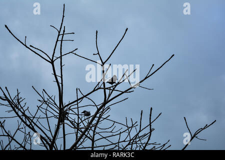 Crows perched on the branches of a dead tree against the blue sky. Gloomy Silhouette. - Stock Photo