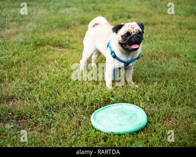 little cute pug dog playing on grass at the park with green flying plate - Stock Photo