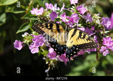 Eastern yellow tiger swallowtail butterfly - Stock Photo