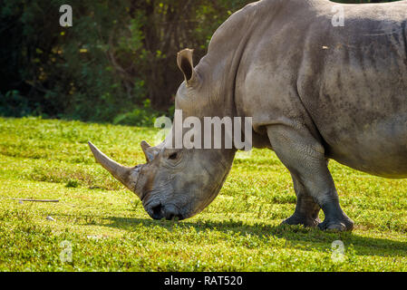 Close up of a big Southern White Rhinoceros (Ceratotherium simum simum) grazing on green grass