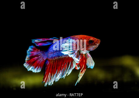 Siamese fighting fish has Thai flag color - Stock Photo