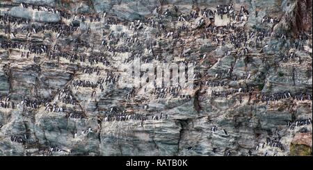 A colony of Guillemots on a cliff face in Anglesey, Wales, UK - Stock Photo