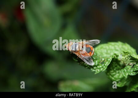Tachinid Fly perched on a mint leaf - Stock Photo