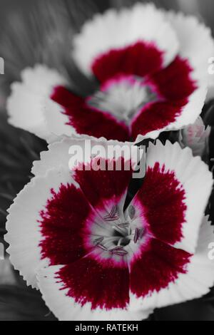 Colorsplash of red and white sweet William (dianthus barbatus) flowers - Stock Photo