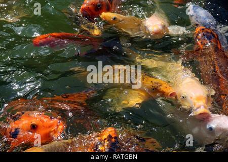 A macro shot of a swarming mass of koi fish waiting to be feed. - Stock Photo