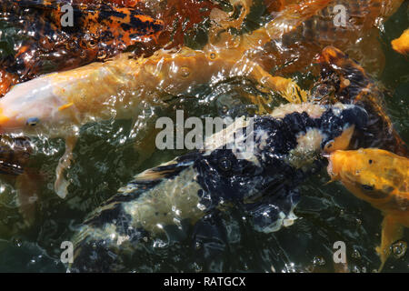 A macro shot of a swarming group of koi fish waiting to be feed. - Stock Photo