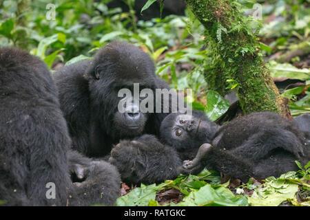 mountain gorilla family, Gorilla beringei beringei, Bwindi Impenetrable Forest National Park, Uganda - Stock Photo
